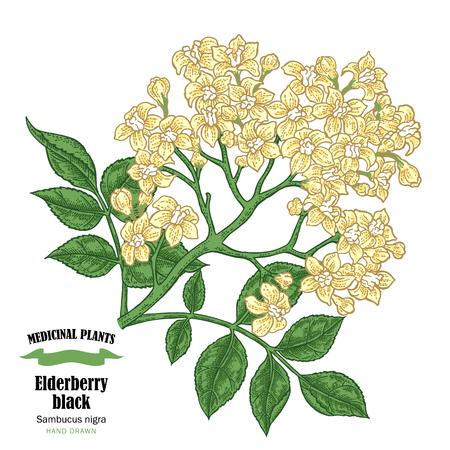 Elderberry black, sambucus. Hand drawn elder branch with flowers vector illustration isolated on white background. Vettoriali
