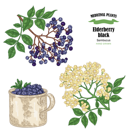 Holunderbeerschwarzer Common Names Sambucus. Übergeben Sie gezogene ältere Niederlassung mit der Blumen- und Blattvektorillustration, die auf weißem Hintergrund lokalisiert wird.