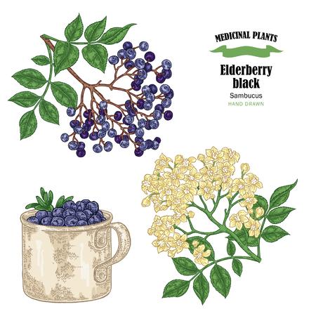 Sambucus nomi comuni neri di sambuco. Il ramo più anziano disegnato a mano con i fiori e le foglie vector l'illustrazione isolata su fondo bianco.