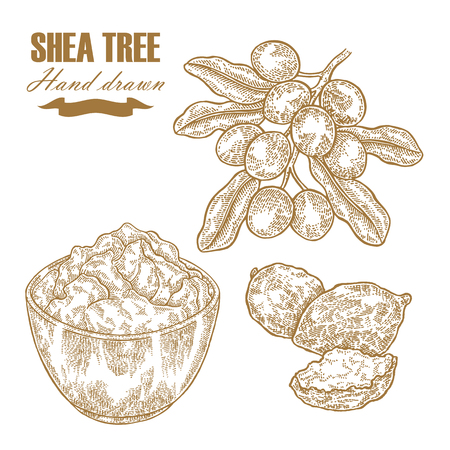 Shea tree branch, nuts and butter isolated on white. Hand drawn vector illustration engraved. Medical plants collection.
