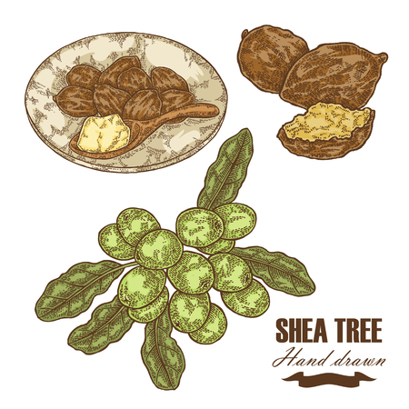 Tree branch, nuts and shea butter vector illustration.