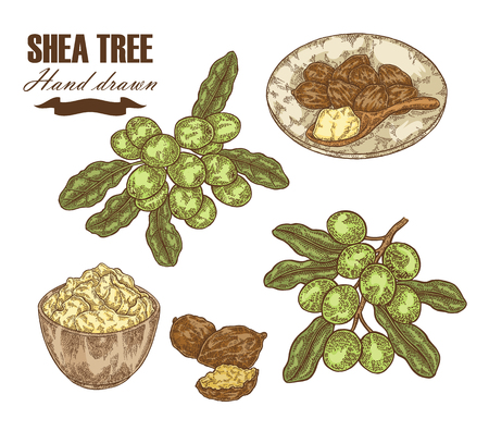 Shea tree branch, nuts and shea butter isolated on white. Hand drawn vector illustration. Medical plants.