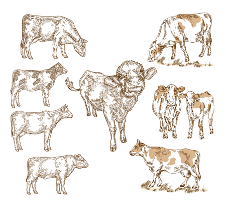 Hand drawn farm animals. Milk cow, cattle, bull, calf isolated on white. Vector illustration engraved