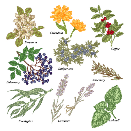 Medical and cosmetics plants. Hand drawn bergamot, calendula, coffee branch, elderberry, juniper tree, rosemary, eucalyptus, lavender, patchouli vector illustration. Ilustração
