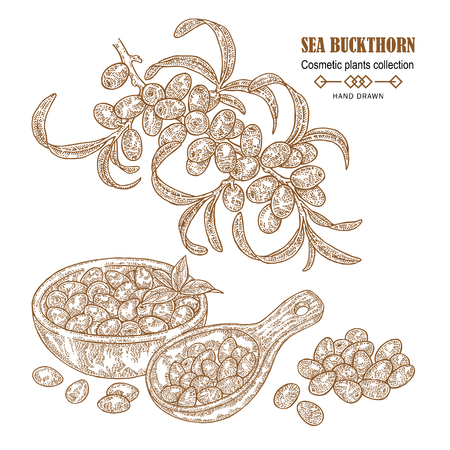 Hand drawn Sea buckthorn branch. Cosmetic plant in sketch style. Vector illustration vintage.