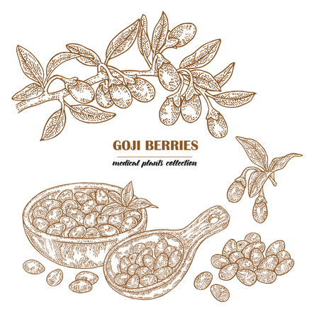 Goji berries on a branch. Hand drawn medical plant collection. Vector illustration engraved. 矢量图像