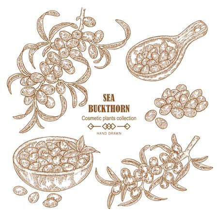 Hand drawn Sea buckthorn branch. Sea buckthorn berries in wooden scoop. Cosmetic plant in sketch style. Vector illustration vintage.
