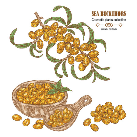 Hand drawn Sea buckthorn branch. Colored sketch cosmetic plant. Vector illustration 免版税图像 - 100129873