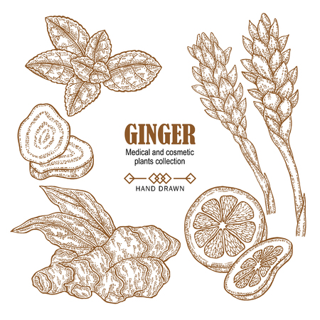Ginger plant set. Hand drawn ginger root, flowers, mint leaves an lemon isolated on white background. Vector illustration engraved. Medical and cosmetic plant collection.