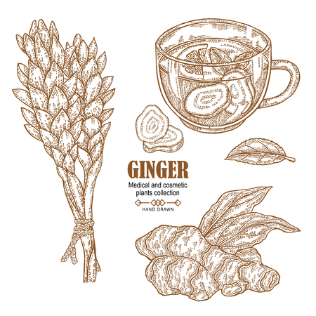 Ginger plant set illustration with a ginger root, flowers and cup