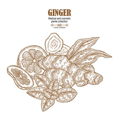 Ginger plant set illustration with leaves