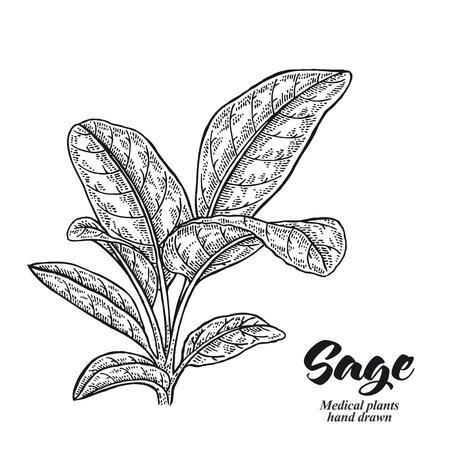 Salvia officinalis pianta chiamata anche giardino di salvia isolato su sfondo bianco. Illustrazione vettoriale disegnata a mano incisa.