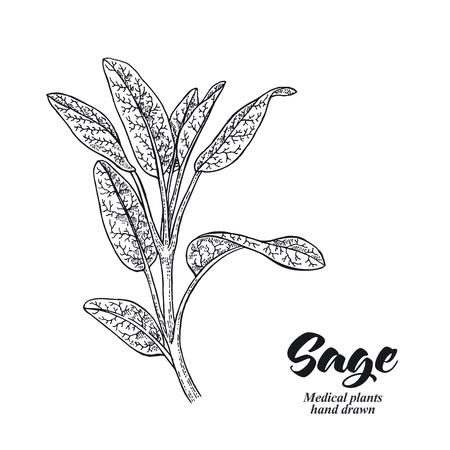 Salvia officinalis pianta chiamata anche giardino di salvia isolato su sfondo bianco. Illustrazione vettoriale disegnata a mano incisa. Vettoriali