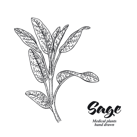 Salvia officinalis plant also called sage garden isolated on white background. Hand drawn vector illustration engraved. 免版税图像 - 112373913