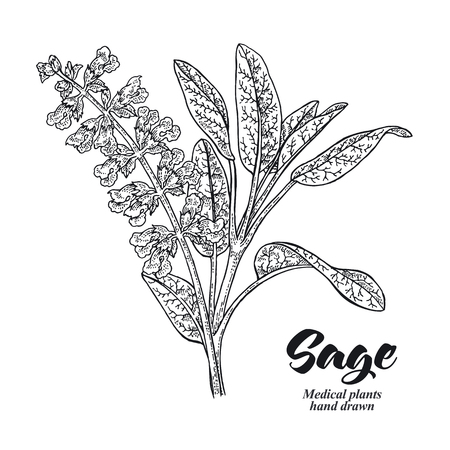 Salvia officinalis plant also called sage garden. Leaves and flowers isolated on white background. Hand drawn vector illustration engraved. 免版税图像 - 112316120