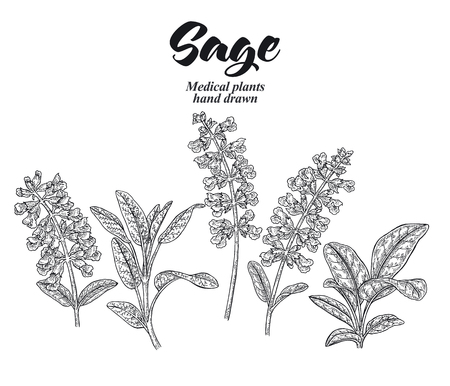 Set of Salvia officinalis plant also called sage garden. Flowers and leaves isolated on white background. Hand drawn vector illustration engraved.