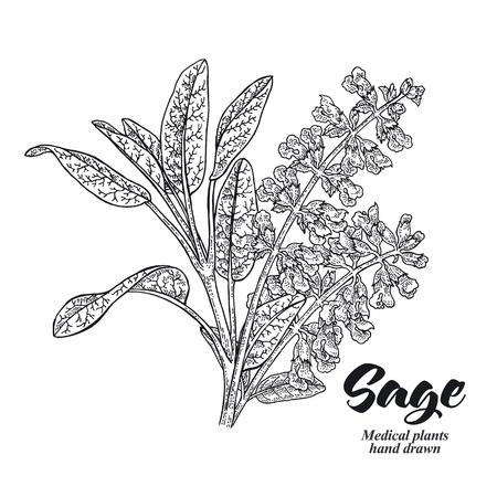 Pianta di Salvia officinalis chiamata anche giardino della salvia. Foglie e fiori isolati su sfondo bianco. Illustrazione vettoriale disegnata a mano incisa. Vettoriali