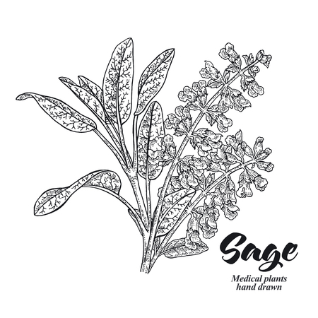 Salvia officinalis plant also called sage garden. Leaves and flowers isolated on white background. Hand drawn vector illustration engraved.