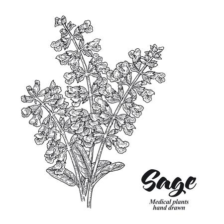 Pianta di Salvia officinalis chiamata anche giardino della salvia. Fiori di salvia isolati su sfondo bianco. Illustrazione vettoriale disegnata a mano incisa.