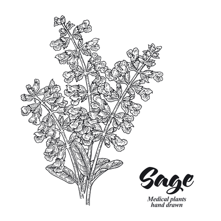 Salvia officinalis plant also called sage garden. Sage flowers isolated on white background. Hand drawn vector illustration engraved.