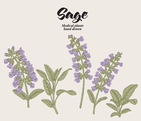 Fiori e foglie di Salvia officinalis disegnati a mano. Pianta da giardino di salvia. Annata di illustrazione vettoriale.