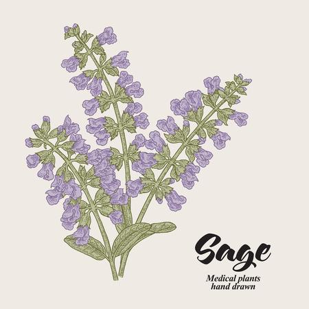 Salvia officinalis fiori e foglie chiamati anche giardino di salvia. Annata di illustrazione vettoriale disegnato a mano. Vettoriali