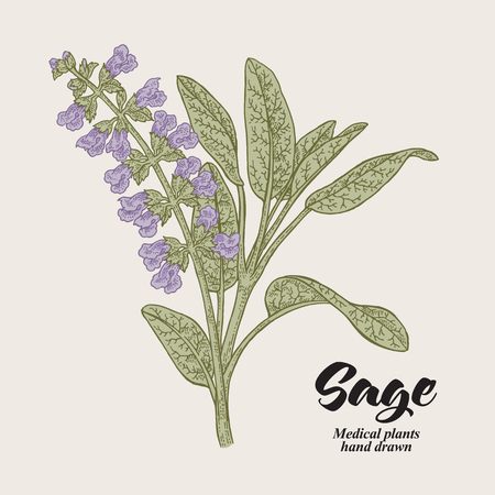 Salvia officinalis flowers and leaves also called sage garden. Hand drawn vector illustration vintage.