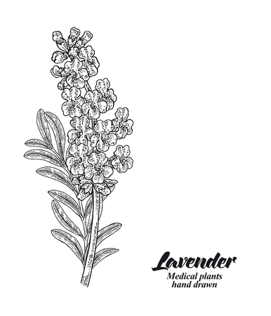 Lavender branch with leaves and flowers isolated on white background. Hand drawn vector illustration engraved. 免版税图像 - 112288916