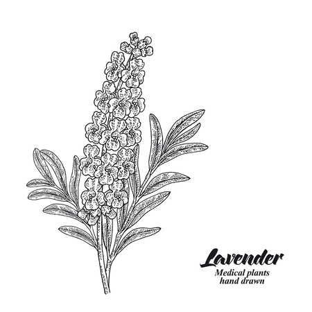 Lavender branch with leaves and flowers isolated on white background. Hand drawn vector illustration engraved.