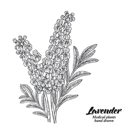 Lavender branch with leaves and flowers isolated on white background. Hand drawn vector illustration engraved. 免版税图像 - 105747136