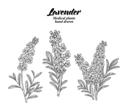 Set lavender branches with leaves and flowers isolated on white background. Hand drawn vector illustration engraved. 免版税图像 - 112266510