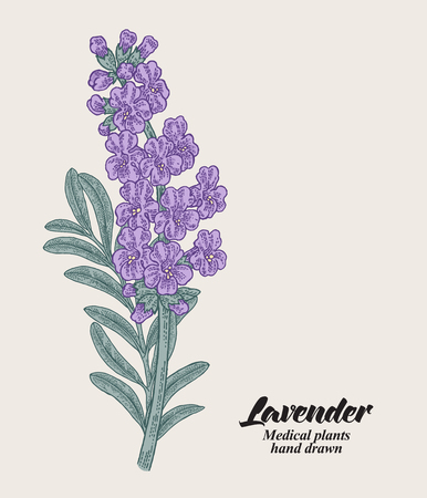 Hand drawn lavender branch with leaves and flowers. Vector illustration vintage. 免版税图像 - 112266511