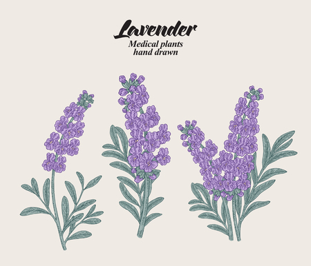 Hand drawn lavender branches with leaves and flowers. Vector illustration vintage.