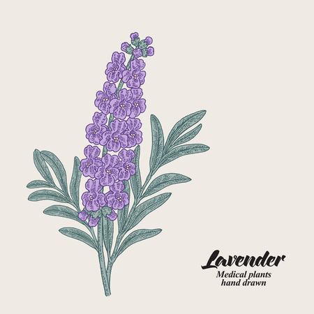 Hand drawn lavender branch with leaves and flowers. Vector illustration vintage. 矢量图像