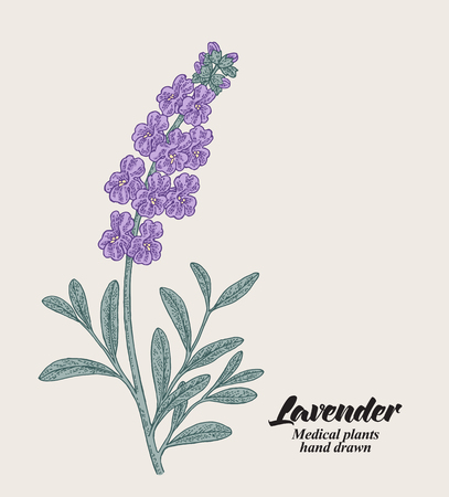 Hand drawn lavender branch with leaves and flowers. Vector illustration vintage. 免版税图像 - 112266514