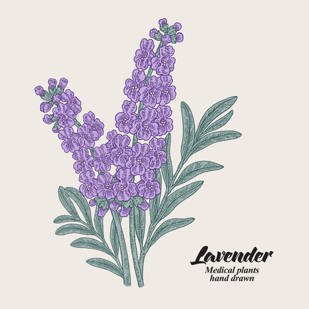 Hand drawn lavender branch with leaves and flowers. Vector illustration vintage. 免版税图像 - 112266515