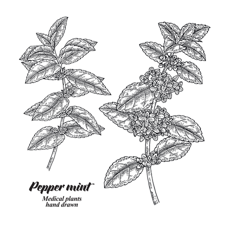 Pepper mint branch with leaves and flowers isolated on white background. Medical herbs collection. Hand drawn vector illustration engraved. 免版税图像 - 111552714