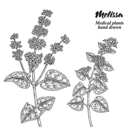 Melissa Officinalis branch with leaves and flowers isolated on white background. Medical herbs collection. Hand drawn vector illustration engraved.