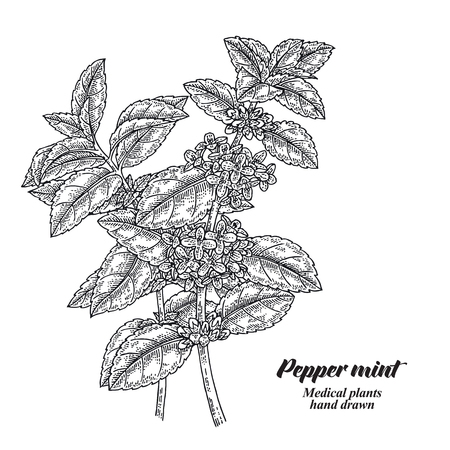 Pepper mint branch with leaves and flowers isolated on white background. Medical herbs collection. Hand drawn vector illustration engraved. 免版税图像 - 111552718
