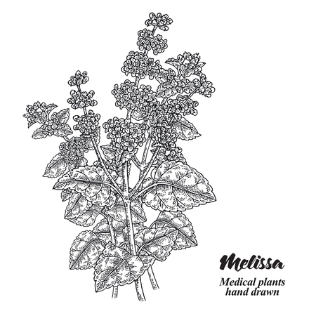 Melissa Officinalis branch with leaves and flowers isolated on white background. Medical herbs collection. Hand drawn vector illustration engraved. 免版税图像 - 111552719