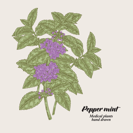 Pepper mint branch with leaves and flowers. Medical herbs collection. Hand drawn vector illustration. 矢量图像