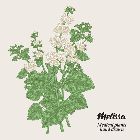Melissa Officinalis branch with leaves and flowers. Medical herbs collection. Hand drawn vector illustration. 免版税图像 - 111552721