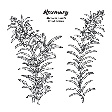 Rosemary branch with leaves and flowers isolated on white background. Medical herbs collection. Hand drawn vector illustration engraved.