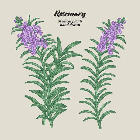 Rosmarinzweig mit Blättern und Blüten. Sammlung von medizinischen Kräutern. Handgezeichnete Vektor-Illustration.