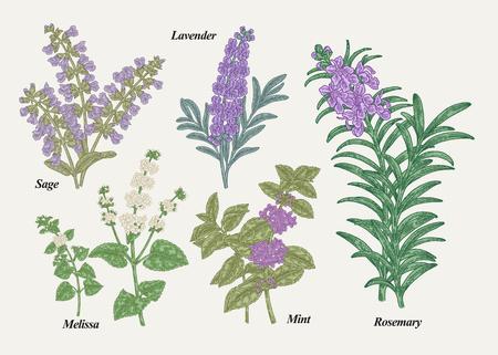 Rosmarino disegnato a mano, menta peperita, melissa, salvia, lavanda e erbe aromatiche salvia con foglie e fiori. Raccolta di piante medicinali. Schizzi colorati disegnati a mano. Illustrazione vettoriale.