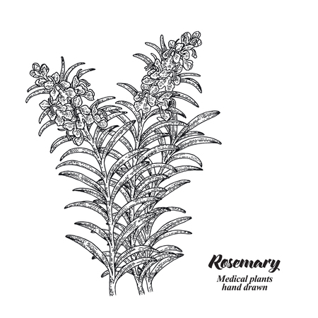 Rosemary branch with leaves and flowers isolated on white background. Medical herbs collection. Hand drawn vector illustration engraved. 免版税图像 - 110221729
