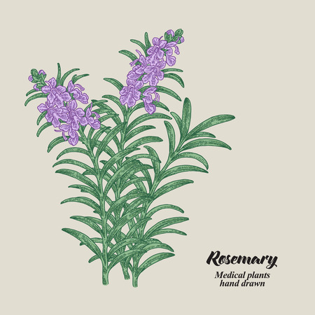 Rosemary branch with leaves and flowers. Medical herbs collection. Hand drawn vector illustration. 矢量图像