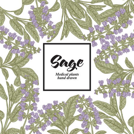 Hand drawn background with Salvia officinalis or Sage. Medical plants. Vector illustration.