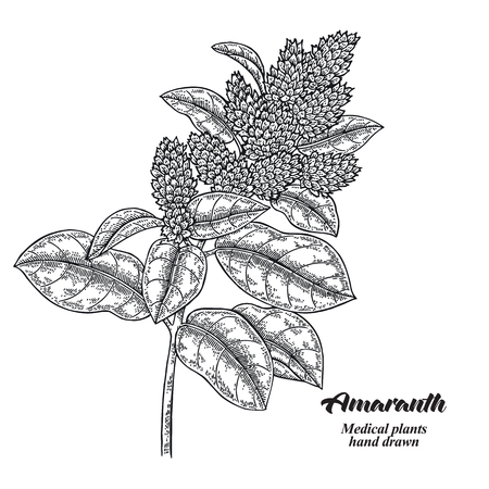 Hand drwn Amaranth branch with leaves and flowers isolated on white background. Medical herbs. Vector illustration engraved. Vettoriali