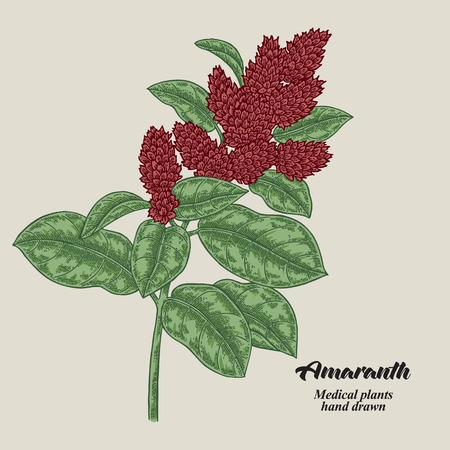 Hand drawn Amaranth with leaves and flowers. Medical herbs. Vector illustration.